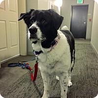 Adopt A Pet :: GABBY- smart playful energetic girl - Bainbridge Island, WA