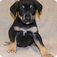 Adopt A Pet :: Ivy - Bellevue, NE