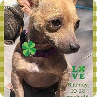 Adopt A Pet :: Blarney - Allen, TX