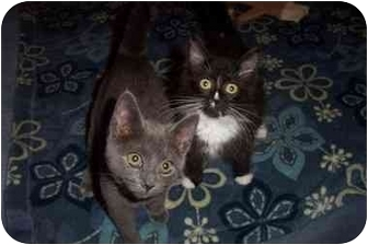 Russian Blue Cat for adoption in Vails Gate, New York - Simone/Sylvester