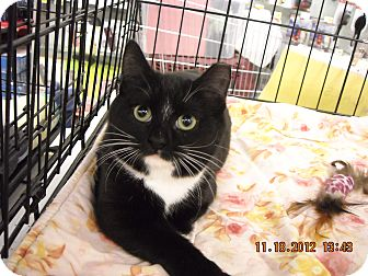 Domestic Shorthair Kitten for adoption in Riverside, Rhode Island - Frida