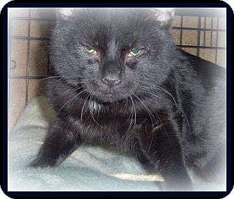 Bombay Cat for adoption in Medford, Wisconsin - ODDIE(ADOPTION ONLY $40)