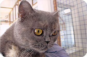 Scottish Fold Cat for adoption in Davis, California - Misty McCloud