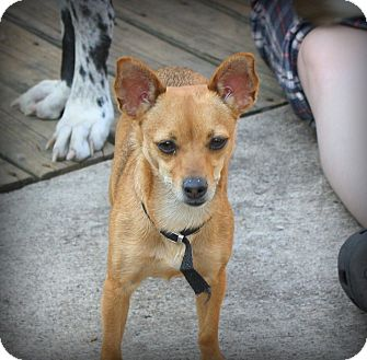 Chihuahua Dog for adoption in Albert Lea, Minnesota - Cherry