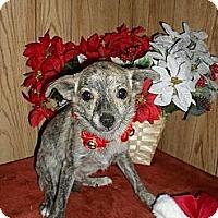 Adopt A Pet :: Brindle - Chandlersville, OH