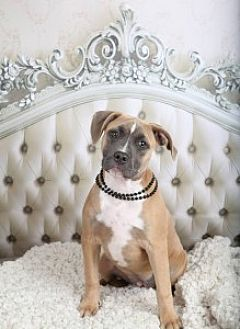 Pit Bull Terrier Mix Dog for adoption in Kansas City, Missouri - Louise