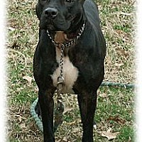 American Pit Bull Terrier Dog for adoption in Cincinnati, Ohio - Roo