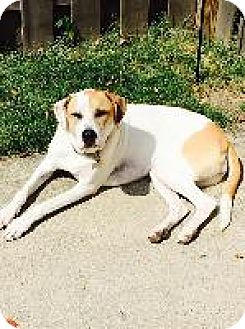 Foxhound Mix Dog for adoption in Louisville, Kentucky - Penny