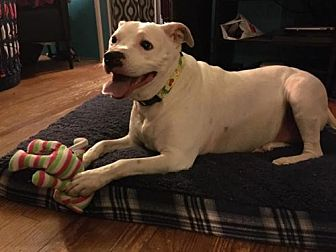 Labrador Retriever/Pit Bull Terrier Mix Dog for adoption in New Lisbon, New Jersey - Marley