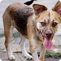 Adopt A Pet :: Willa - Austin, TX