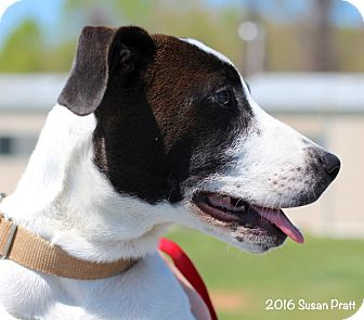 Pointer Mix Dog for adoption in Bedford, Virginia - Obie