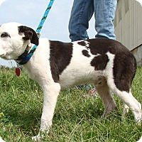 Adopt A Pet :: Pongo - Cameron, MO