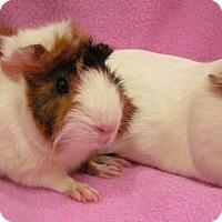 Adopt A Pet :: Nora - Steger, IL