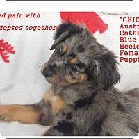 Adopt A Pet :: Chica - Blue Heeler - El Cajon, CA