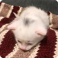 Adopt A Pet :: Atticus - Northeast, OH