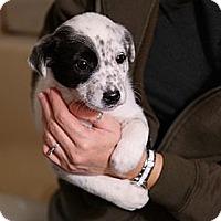 Adopt A Pet :: Puppies - Collie/Sheltie - Hamilton, ON