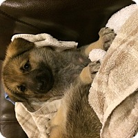Adopt A Pet :: Hansella - Dallas, TX
