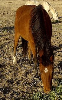 Mustang for adoption in Boone, Colorado - Pacata