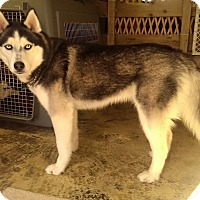 Adopt A Pet :: Chavo - Belleville, MI