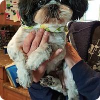 Adopt A Pet :: SANDY - Winnetka, CA
