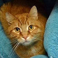 Domestic Shorthair Cat for adoption in Akron, Ohio - Cosmo