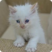 Adopt A Pet :: Malibo - Reston, VA