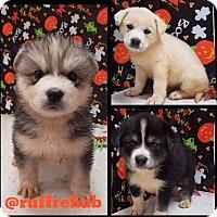 Adopt A Pet :: Fluffy Little Boos - Pompton Lakes, NJ