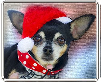 Chihuahua Dog for adoption in Redding, California - Cody 7 pounds