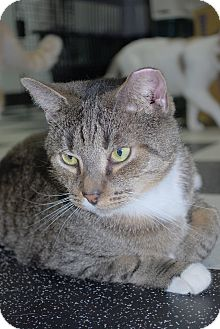 Domestic Shorthair Cat for adoption in Victor, New York - Sam