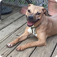 Pit Bull Terrier Mix Dog for adoption in Philadelphia, Pennsylvania - Victoria
