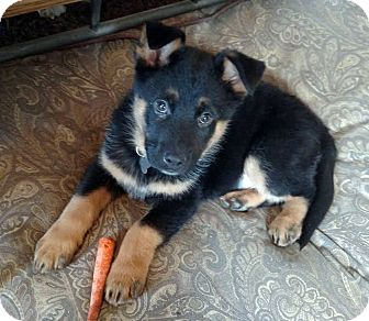 German Shepherd Dog/Shepherd (Unknown Type) Mix Puppy for adoption in Detroit, Michigan - Kringle-Adopted!