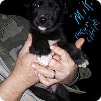 Adopt A Pet :: Miki - Niagra Falls, NY