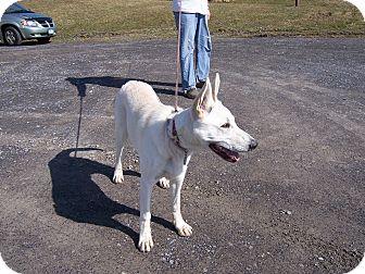 German Shepherd Dog Dog for adoption in Tully, New York - LAKOTA