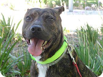 Labrador Retriever Mix Dog for adoption in Poway, California - Magic