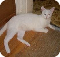 Domestic Shorthair Cat for adoption in Schertz, Texas - Sage