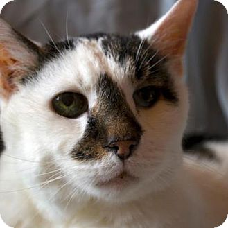 Domestic Shorthair Cat for adoption in Chicago, Illinois - Lincoln