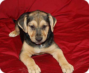 Beagle/Finnish Spitz Mix Puppy for adoption in Chula Vista, California - Cody