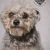Cairn Terrier Dog for adoption in Inglewood, California - Roscoe P. Coletrain