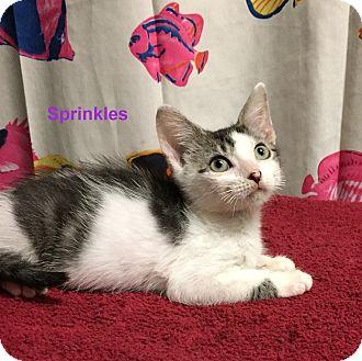 Domestic Shorthair Kitten for adoption in Cliffside Park, New Jersey - SPRINKLES
