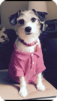 Jack Russell Terrier Mix Dog for adoption in Sharon Center, Ohio - Gabby - PENDING