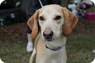 Hound (Unknown Type)/Labrador Retriever Mix Dog for adoption in Sanford, Florida - Luke