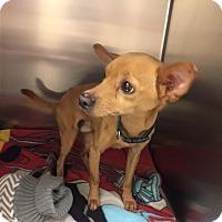 Adopt A Pet :: Flash - Westminster, CA