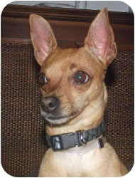 Chihuahua Dog for adoption in Baltimore, Maryland - Fern