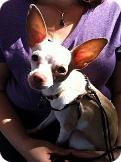 Chihuahua Mix Dog for adoption in North Hollywood, California - Cricket