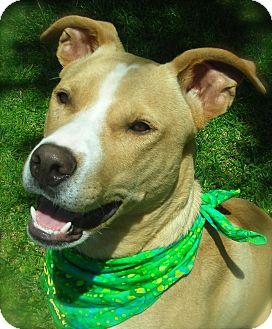 Labrador Retriever/American Pit Bull Terrier Mix Dog for adoption in El Cajon, California - Zack