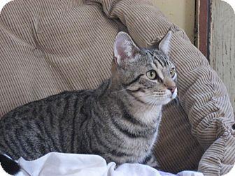Domestic Shorthair Kitten for adoption in Fresno, California - Quincy