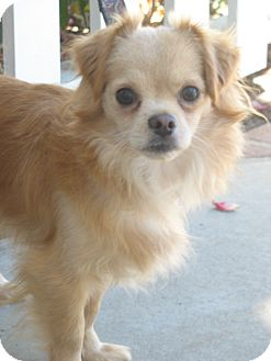Chihuahua/Spaniel (Unknown Type) Mix Dog for adoption in San Diego, California - Hugo URGENT