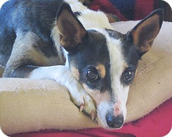 Rat Terrier Dog for adoption in Prole, Iowa - Baby