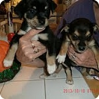 Adopt A Pet :: Puppies - Charlotte, NC