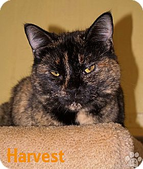 Calico Cat for adoption in Converse, Texas - Harvest